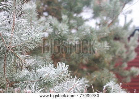 Snow-covered fir tree branches