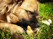 image of eat grass  - Doggie is eating dog cookie on grass - JPG