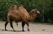image of camel-cart  - Bactrian two - JPG
