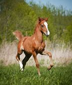 pic of pony  - little welsh pony foal running fast on the wild - JPG