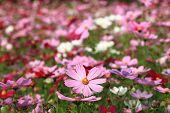 foto of cosmos  - Cosmos flowers - JPG