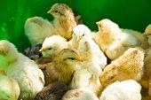 Many Little Yellow Chicks