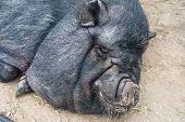 picture of pig head  - pig sleeping black pig closeup portrait - JPG