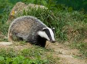 foto of badger  - European Badger cub in English countryside during springtime - JPG