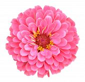 stock photo of zinnias  - A pink zinnia flower isolated on white - JPG