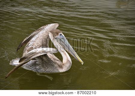Pelican ready to fly