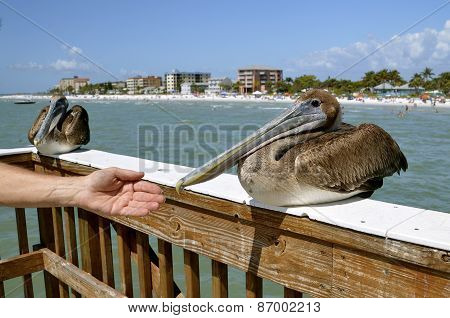 Hand reaches out to pelican