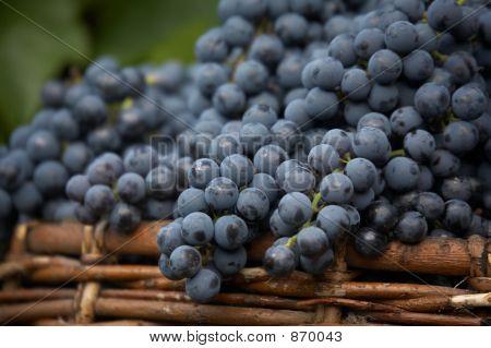 harvest of blue grape