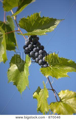 bunch of blue grape