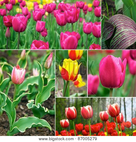Tulips - Beautiful Spring Flowers