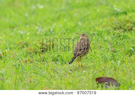 A Indochinese Bushlark On The Field