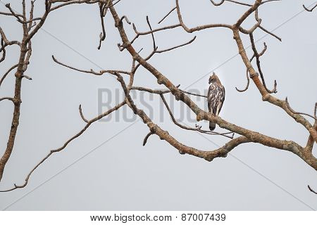Changeable Hawk Eagle On A Perch