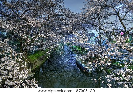 the sight of cherry blossoms at night