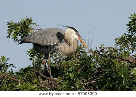 Great Blue Heron - Venice Rookery