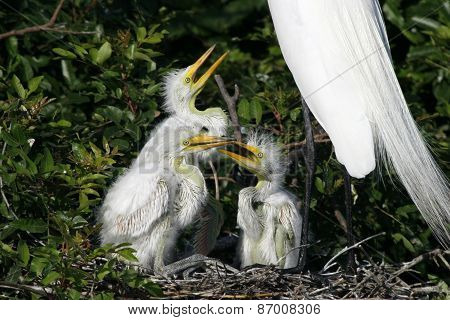 Great Egret Chicks in Nest