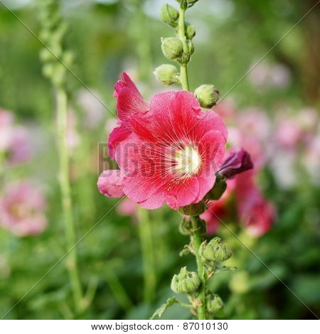 Hollyhock Flower Or Althaea Flower