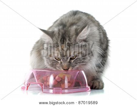 Eating Maine Coon Cat