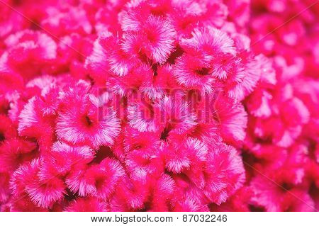 Close Up Cockscomb Or  Chinese Wool Flower