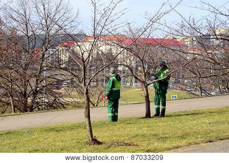 Workers Supervising Sakura Trees In Vilnius City