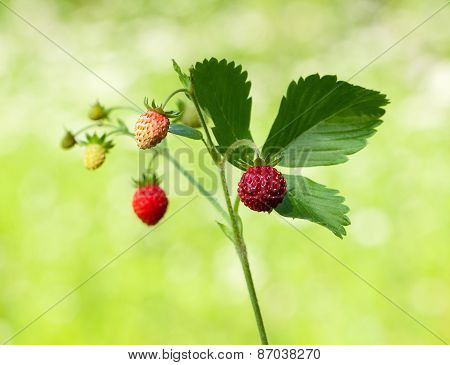 Wild Strawberry Sprig