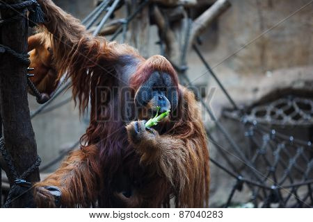 Portrait Of Adult Orangutan