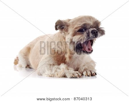 Small Doggie Of Breed Of A Shih-tzu