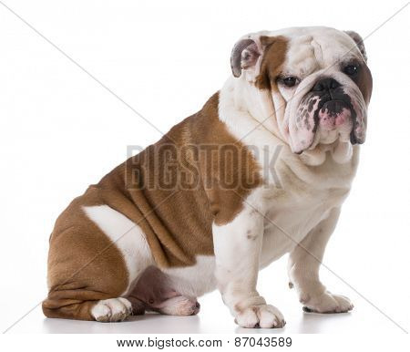 bulldog sitting looking at viewer on white background