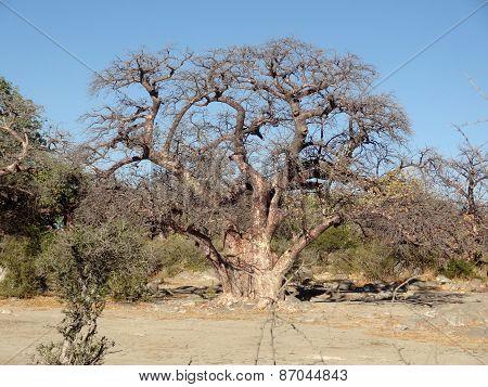 Chestnut Tree At Kubu Island