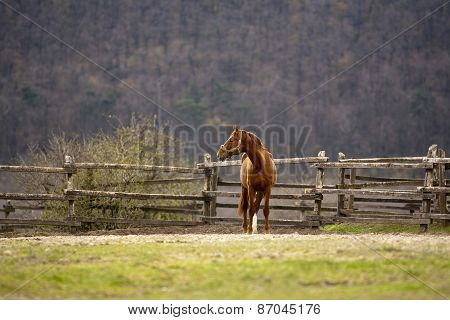Thoroughbred Chestnut Stallion Grazing Springtime Rural Pastureland