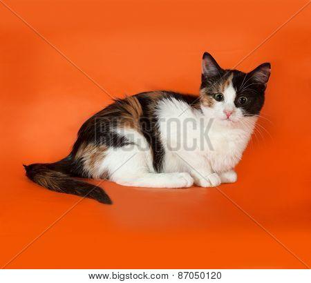 Tricolor Fluffy Kitten Sitting On Orange