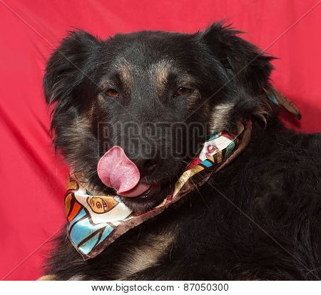 Black Dog In Colorful Bandanna Licked On Red