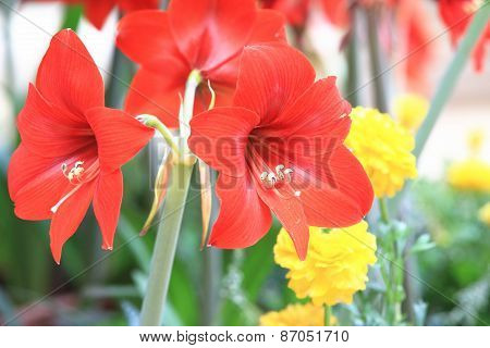 Amaryllis,Knight star lily,Mexican lily,Belladonna lily