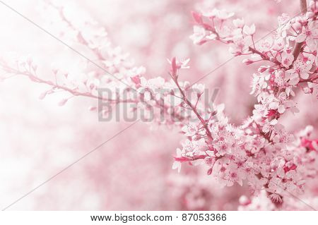 Cherry tree flower in spring