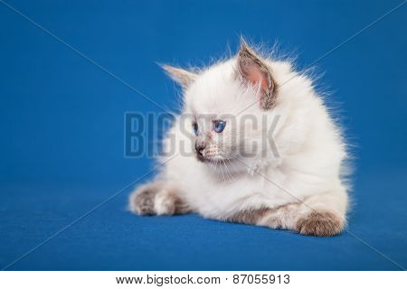 Neva Masquerade Kitten On Blue Background