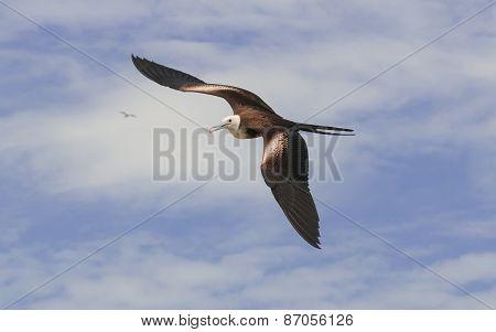 Female Magnificent Frigatebird