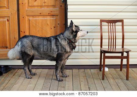 Husky Dog Standing Near Empty Chair