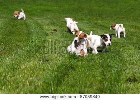 Beagle Puppies On Grass