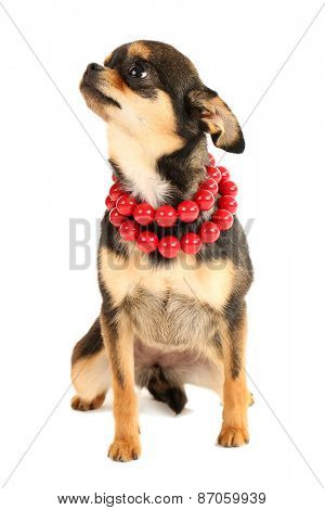 Cute chihuahua puppy in red beads isolated on white