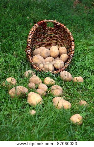 Potatoes On The Grass