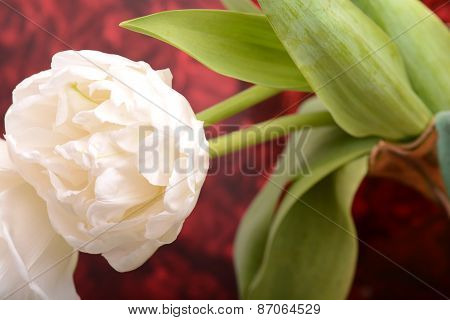 Close Up Image Of White Tulip
