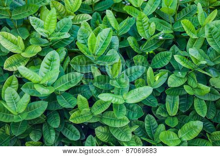 Ixora Or West Indian Jasmine Green Leaves