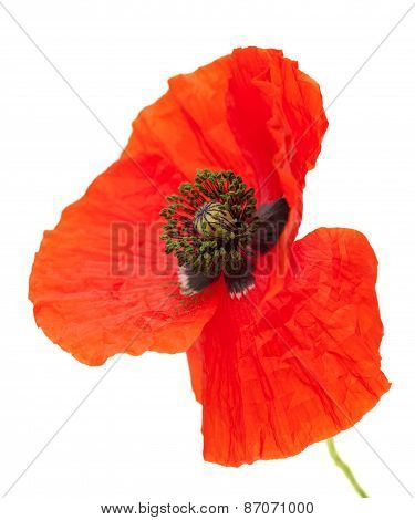 Bright Red Poppy