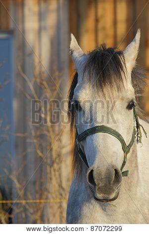 white arabian horse portrait