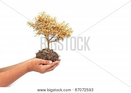 Dried Plant In Hands Isolated On White Background