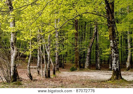 Forest In Slovenia