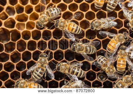 Close Up Bees On Honeycells