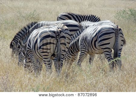 Flock Of Zebras