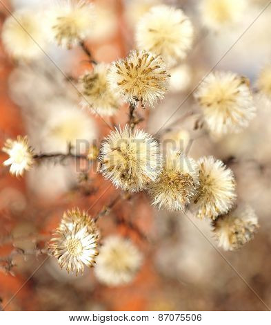 Burdock With Dried Flowers