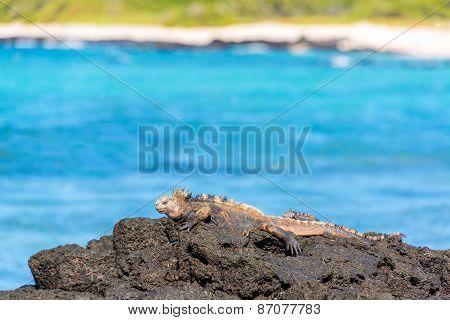 Marine Iguana On Rocks