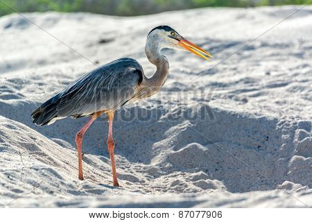 Great Blue Heron In Galapagos